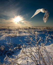 Snowy Owl in the Arctic
