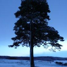 Lone Scots Pine, Morayshire
